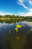 Underwater flowers. Lily flower stretches through the water to the sun on the Dnieper River Stock Photos