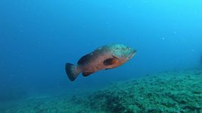Mediterranean sea life -Grouper fish swimmin alone in a reef