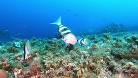 Nature underwater - Imperial bream fish in a Mediterranean sea reef