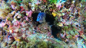 Wildlife undersea - moray eel in a colourfull reef