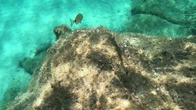 Underwater footage in slow motion of some little mediterranean fishes that eat marine vegetation on a rock with transparent blue. Water stock video footage