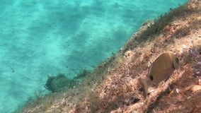 Underwater footage in slow motion of some little mediterranean fishes that eat marine vegetation on a rock with transparent blue w. Ater stock video