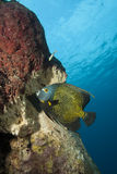Underwater French Angelfish, Bonaire Stock Images