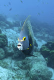 Underwater French Angelfish, Bonaire Royalty Free Stock Photography