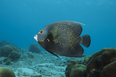 Underwater French Angelfish, Bonaire Stock Image