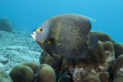 Underwater French Angelfish, Bonaire Royalty Free Stock Photos
