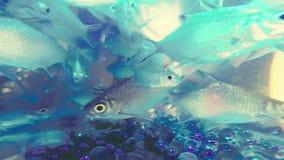 Underwater freshwater aquarium. Underwater video of freshwater aquarium with lampam sungai or river carp fish stock video footage