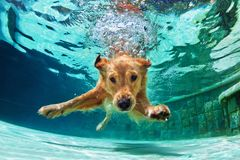 Dog diving underwater in swimming pool. Underwater funny photo of golden labrador retriever puppy in swimming pool play with fun - jumping, diving deep down stock photos