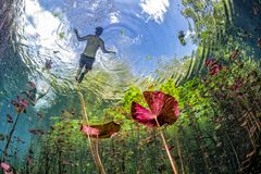Underwater gardens and water plants in cenotes cave diving in Mexico stock photo