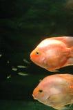 Underwater goldfish. It is two big goldfishes underwater Stock Photos