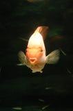 Underwater goldfish. It is a goldfish underwater Stock Images
