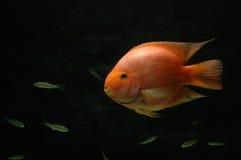 Underwater goldfish. It is a goldfish underwater Royalty Free Stock Photos