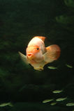 Underwater goldfish. It is a goldfish underwater Royalty Free Stock Photo