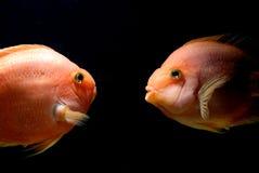 Underwater Goldfish Stock Photos