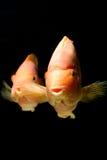 Underwater Goldfish Royalty Free Stock Photo