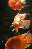 Underwater goldfishes. It is 3 goldfishes underwater Stock Photos