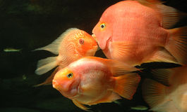 Underwater goldfishes Stock Images