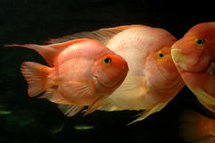 Underwater goldfishes. It is 3 goldfishes underwater Stock Photography
