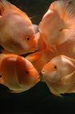 Underwater goldfishes. It is goldfishes underwater. orange color Stock Image