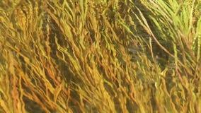 Underwater Grass Ripple Background. Underwater grass in stream rippling background with audio stock video footage