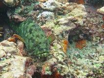 Underwater green grouper fish stock photos