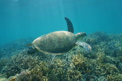 Underwater green sea turtle Chelonia mydas Royalty Free Stock Photos