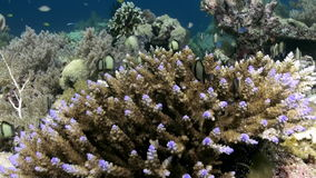 Underwater Hard corals on sea ocean. School fish. Amazing, beautiful underwater world Bali Indonesia and  life of its inhabitants, creatures and diving stock video