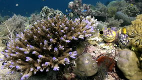 Underwater Hard corals on sea ocean. School fish. Amazing, beautiful underwater world Bali Indonesia and  life of its inhabitants, creatures and diving stock video footage