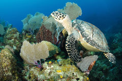 Underwater Hawksbill turtle Royalty Free Stock Photography