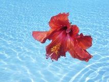 Underwater Hibiscus Flowers Stock Images