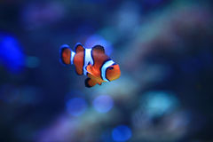 Underwater Image of Clownfish Royalty Free Stock Image