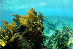 Underwater image of coral reef with a man spearfishing Royalty Free Stock Images