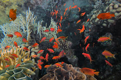 Underwater image of coral reef and tropical fishes Royalty Free Stock Photography