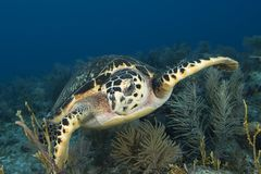 Underwater image of green sea turtle Royalty Free Stock Images