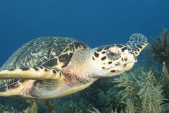 Underwater image of green sea turtle Stock Photography
