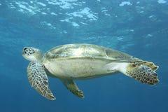 Underwater image of green sea turtle Stock Image