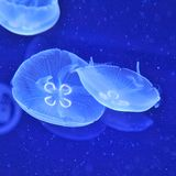 Underwater image of jellyfishes Royalty Free Stock Photo