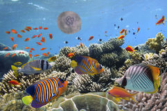 Underwater image of jellyfishes, Red Sea. Egypt Royalty Free Stock Photo