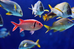 Underwater Image Of Fishes Stock Image