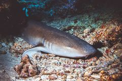 Free Underwater Image Of Shark Royalty Free Stock Image - 138927256