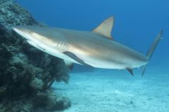 Underwater image of reef shark with fishhook Royalty Free Stock Photos