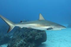 Underwater image of reef shark. Carcharhinus Perezii in Key Largo, Florida Royalty Free Stock Images