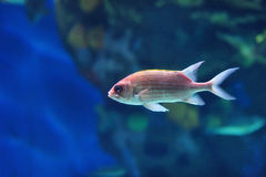 Underwater image of tropical fish Royalty Free Stock Images