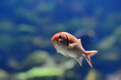 Underwater image of tropical fish Royalty Free Stock Photos