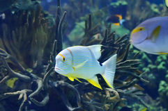 Underwater image of tropical fish Stock Photography