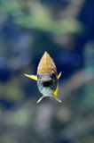 Underwater image of tropical fish Royalty Free Stock Photography