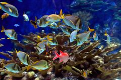 Underwater image of tropical fishes Stock Images