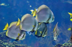 Underwater image of tropical fishes Royalty Free Stock Images