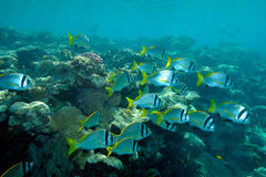 Underwater image of tropical fishes Stock Image