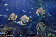 Underwater image of tropical fishes Royalty Free Stock Image